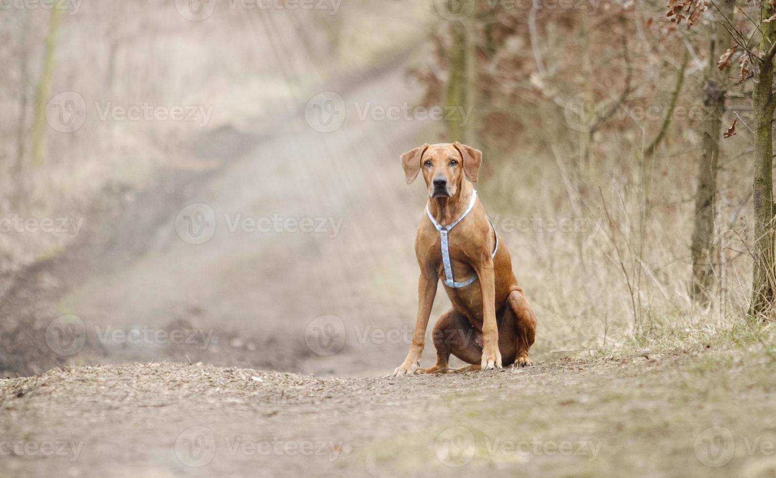 Angst Rhodesian Ridgeback Hund Welpe sitzen im Frühling Hintergrund foto