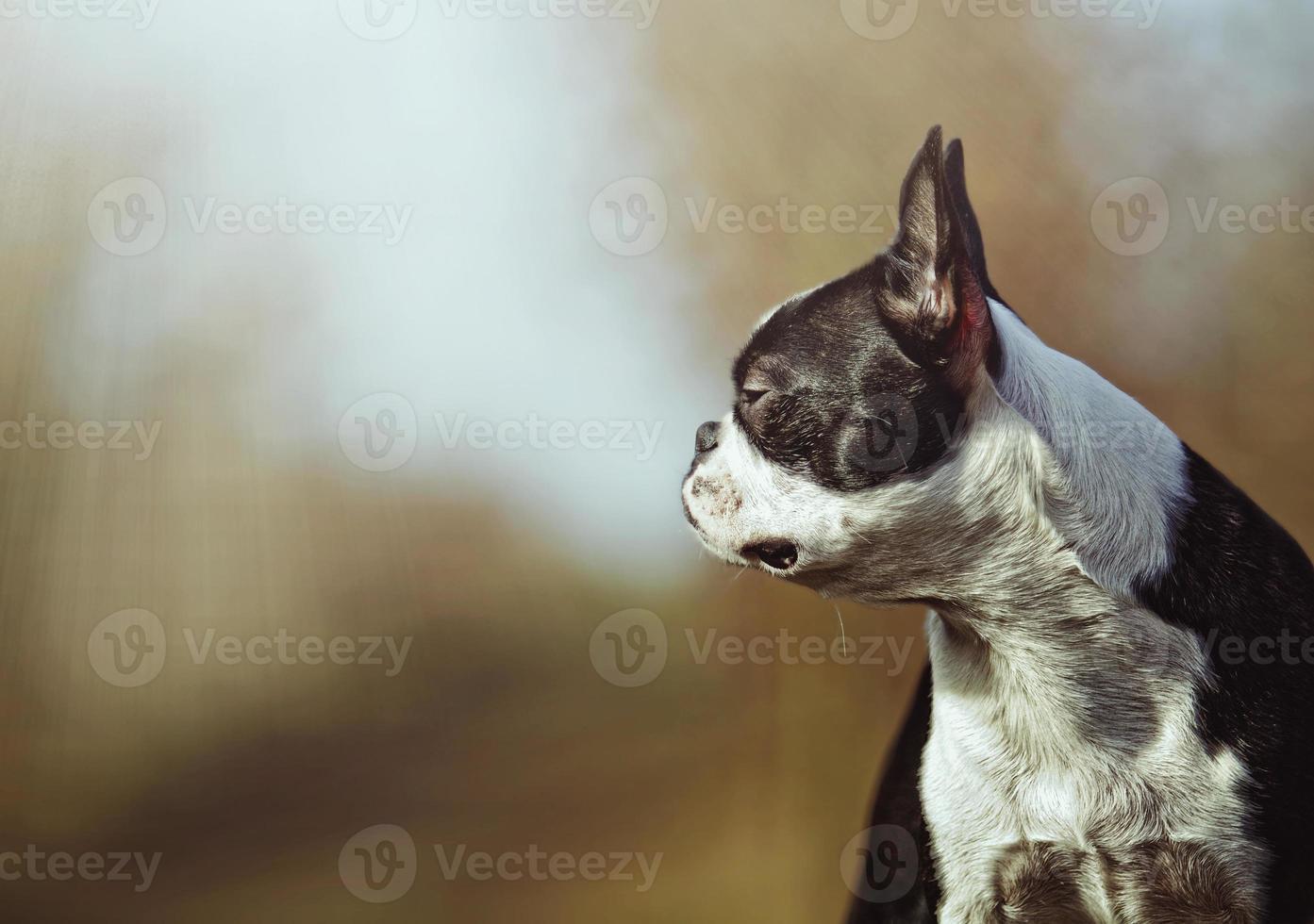 Porträt des schönen und traurigen Boston Terrier Hundewelpen foto