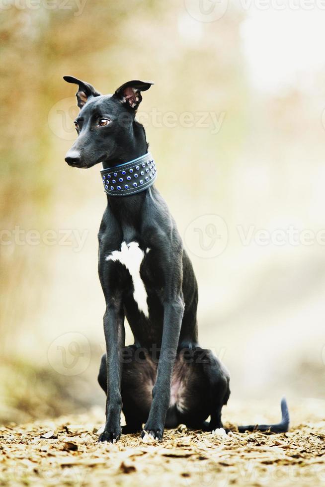 schöner trauriger Porträtschwarzer Whippet-Hundewelpe foto