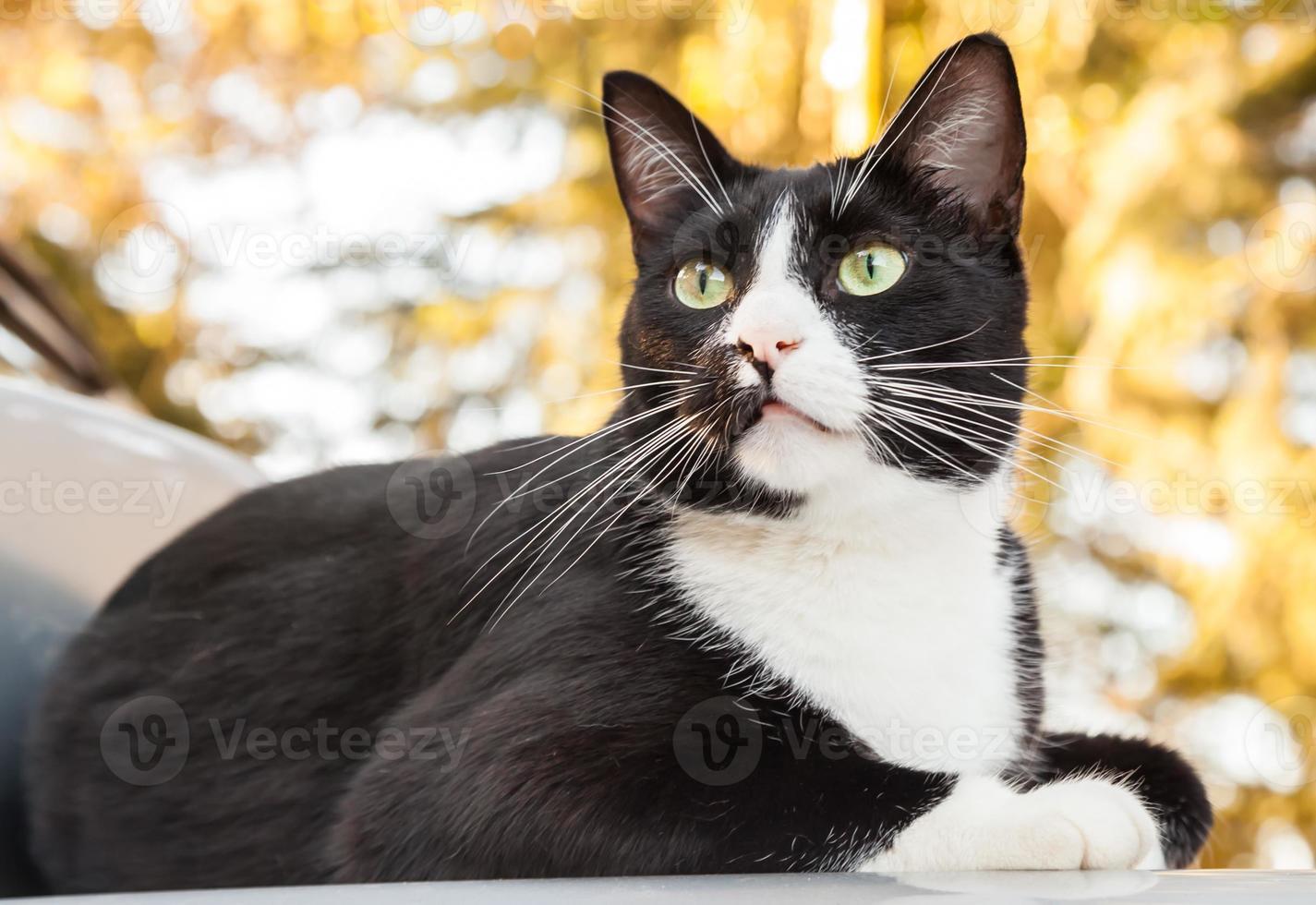 Alarm Schwarzweiss-Katze, die auf Auto sitzt und nach außen schaut foto