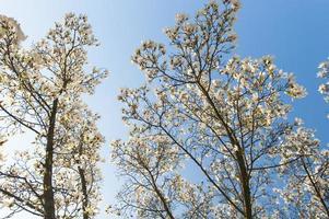 schöne Magnolienblüten im Frühling