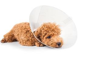 trauriger Pudelhund, der Schutzkegelhalsband an ihrem Hals trägt foto