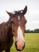 braunes Pferd nahes Porträt