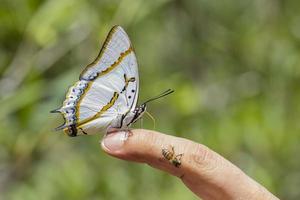 großer Nawab-Schmetterling foto