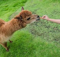 Alpaka auf dem Bauernhof foto