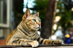 getigerte braune Katze foto
