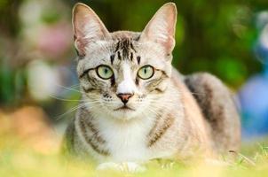 getigerte Katze foto