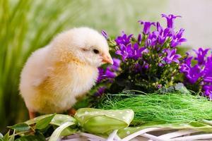 kleines Huhn foto