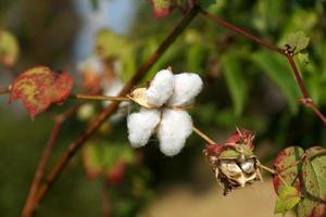 Nahaufnahme von reifen Baumwollkapseln auf Zweig