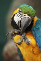 Papagei Ara Macao putzt seinen Fuß