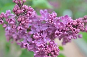 Syringa - lila Blüten. foto