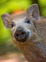 junges Wildschwein foto