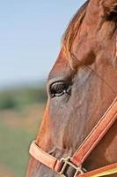 Porträt des braunen Pferdes foto