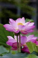 blühender Lotus foto