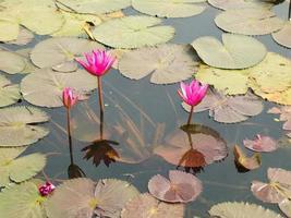 Lotus Teich Landschaft. foto