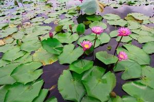 rosa Lotus foto