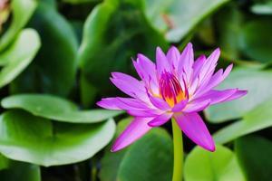 Wasserlilie foto