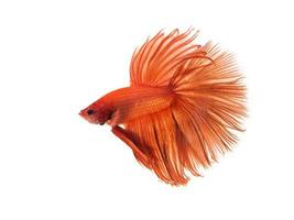 Kampffisch Halbmond