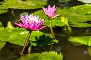 schöne lila Seerosen, die im Teich schwimmen.