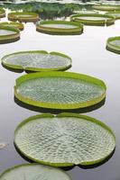 Riesige Victoria Lotus Pflanze im Wasser foto