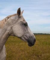 Profil eines grauen Pferdekopfes foto