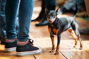kleiner junger schwarzer Zwergpinscher Pincher Hund, der auf alt bleibt