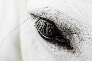 Wimpern eines weißen Pferdes. foto