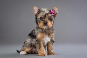 Welpe Yorkshire Terrier