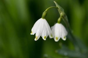 Schneeglöckchenstamm mit zwei Blumen auf verschwommenem Hintergrund