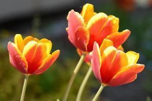 vier rotgelbe Tulpen an Stielen. foto