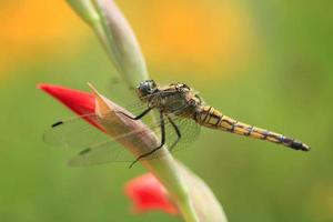 Libelle auf Blume foto