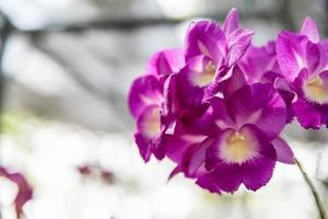 schöne thailändische Orchideenblume