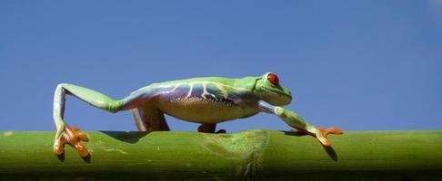 Frosch (Agalychnis Callidryas) auf einem Bambusstamm foto