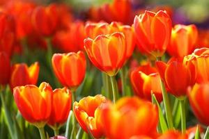 orange Tulpen foto