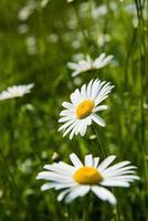 weiße Kamillenblüten foto