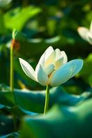 weiße Lotusblume