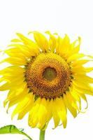 Sonnenblume auf lokalisiertem Hintergrund foto