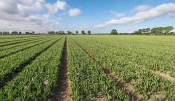 Tulpenfeld nach dem Abschneiden der Blütenköpfe foto