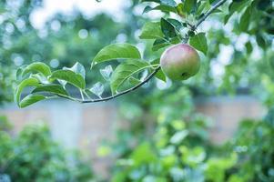 grüner Apfel auf einem Ast foto