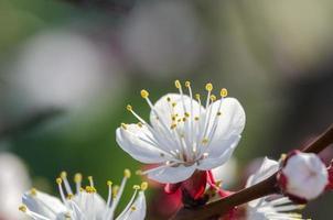 Aprikosenblüten foto