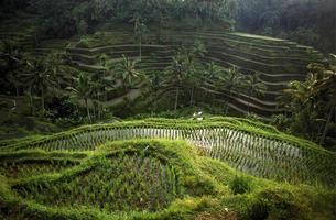 Asien Bali Ubid Tegalalang Reisfeld foto