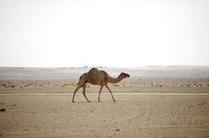 Wüstenkamel foto