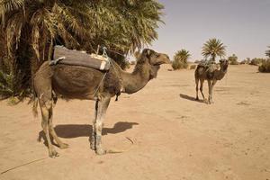 marokkanische Kamele, die sich darauf vorbereiten, Sahara zu wandern