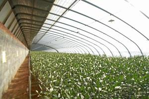Lilien werden in Gewächshäusern gepflanzt foto