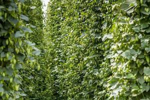 Bio-Hopfenfarm zum Brauen von Bier foto