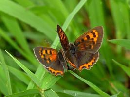 Schmetterlingskupplung foto