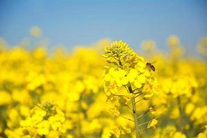 Schweizer Landwirtschaftsfeld der Rapspflanze für grüne Energie