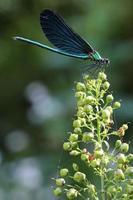 Libelle auf der Pflanze foto