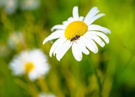 Kamille und ein Insekt