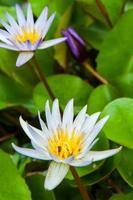 blühende Lotusblume im Garten